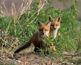 Iowa Fox Pups