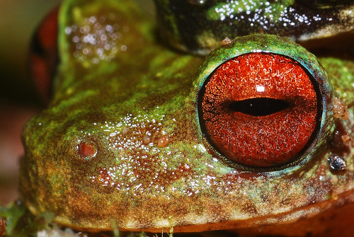 red wild color macro eye latinamerica nature america rainbow nikon rainforest stream wildlife conservation amphibian honduras andrew frog research ojos jungle fungus latin tropical brook endangered cloudforest biology rare soe snyder centralamerica biodiversity moist 105mm cusuco amplexus nikon105mm d80 operationwallacea opwall abigfave batrachochytrium dendrobatidis merendon montanecloudforest platinumheartaward macrolife andrewsnyder chytrid cusuconationalpark batrachochytriumdendrobatidis chytridiomycosis asnyder5 andrewmsnyder amphibianchytridfungus