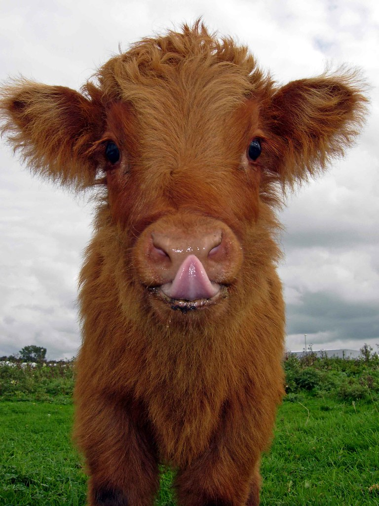 20 adorable photos of fuzzy highland cattle calves