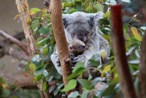 Momma and Baby Koala 3