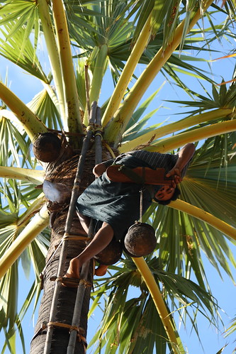 Harvesting Palm Sugar