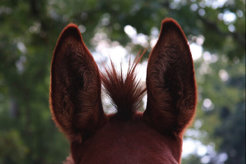 Photo of a horse's ears