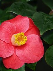 shrub(0.0), floribunda(0.0), chinese hibiscus(0.0), camellia(1.0), camellia sasanqua(1.0), flower(1.0), red(1.0), plant(1.0), flora(1.0), camellia japonica(1.0), theaceae(1.0), petal(1.0),