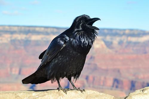 [フリー画像素材] 動物 (その他), 鳥類 (その他), カラス ID:201302140400