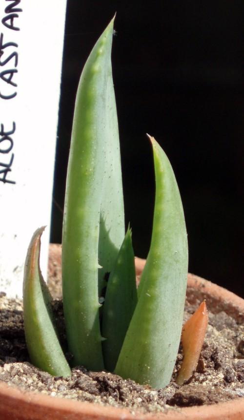 Aloe castanea 4039120051_929b47ed40_o