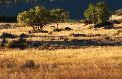 coyote animals colorado wildlife favs hunt blackcanyon lightroom zenfolio niksoftware nikond700 sensorphoto