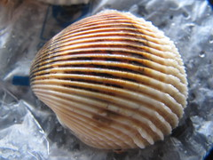 molluscs(0.0), seafood(0.0), marine biology(0.0), food(0.0), conch(0.0), animal(1.0), sea snail(1.0), clam(1.0), invertebrate(1.0), macro photography(1.0), seashell(1.0), close-up(1.0), cockle(1.0), clams, oysters, mussels and scallops(1.0),