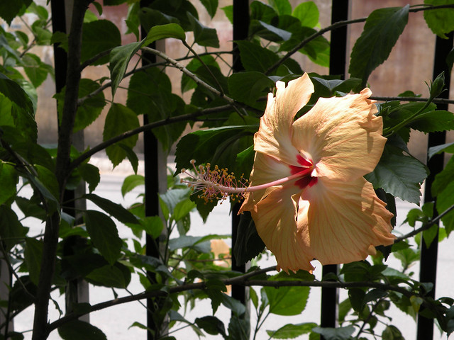 Hibiscus, a delicate beauty