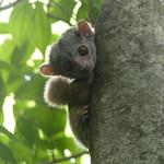 Milne-Edwards' Sportive Lemur, Ankarafantsika, Madagascar