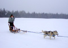 dog, winter, vehicle, sports, snow, mushing, dog sled, sled dog racing, sled,