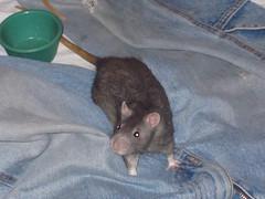 animal, rat, rodent, mouse, fauna, muroidea, dormouse, whiskers, pest, gerbil,