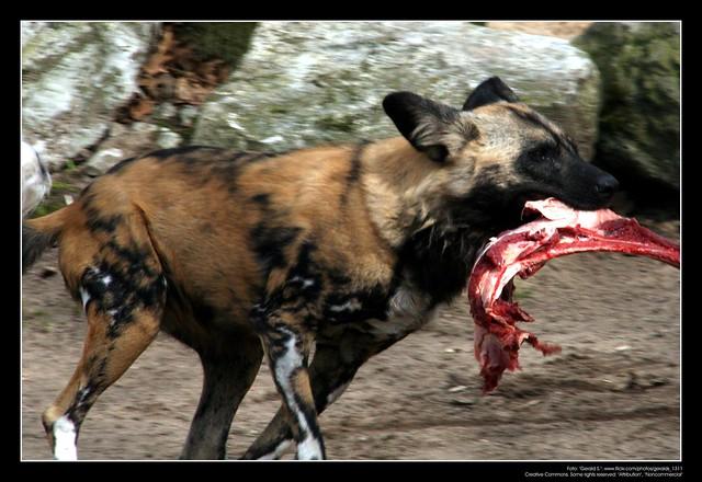 African Wild Dogs / Afrikanische Wildhunde (09)