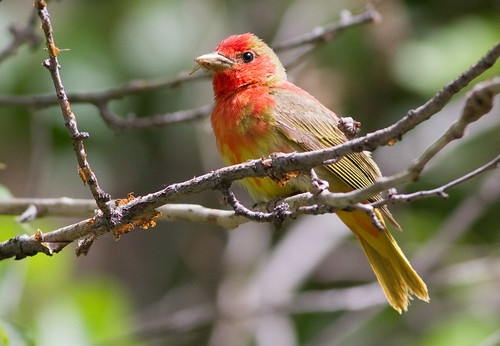 Summer Tanager, View #3, Market Lake, ID 6/19/2011