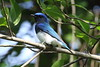 Blue-and-white Flycatcher by myrontay