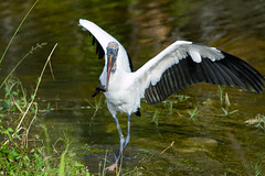 great egret(0.0), wetland(1.0), animal(1.0), wing(1.0), fauna(1.0), ciconiiformes(1.0), white stork(1.0), heron(1.0), beak(1.0), crane-like bird(1.0), crane(1.0), bird(1.0), wildlife(1.0), egret(1.0),