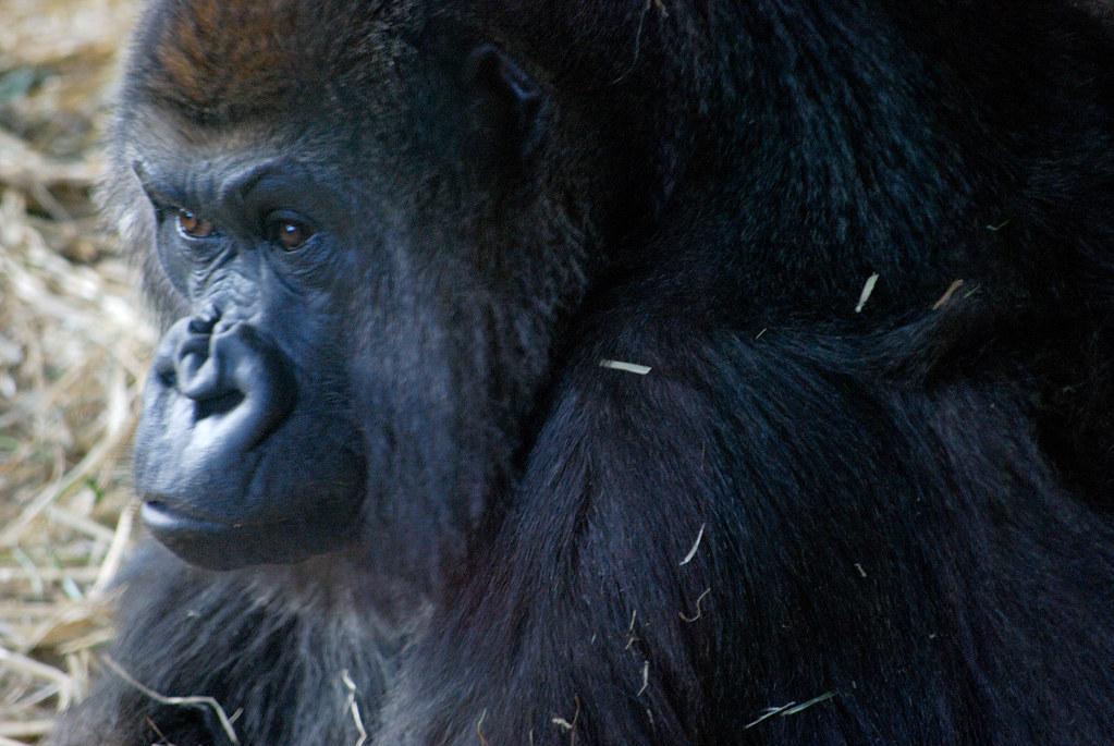 ゴリラ(Gorilla)