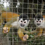 Squirrel monkey, Saimiri oerstedii