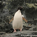 A Lone Penguin on Detaille Island - Antarctica