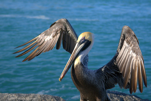pelican wings by Alida's Photos