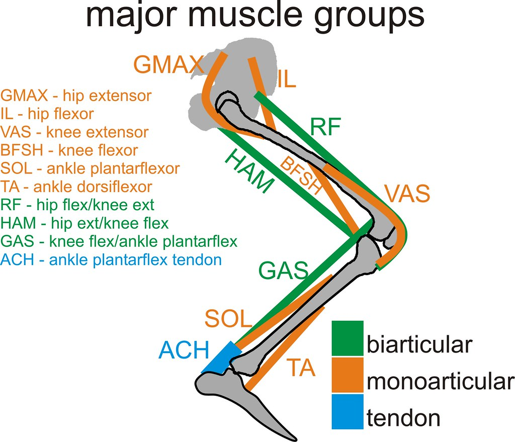 Primary Leg Muscle Groups