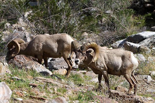 Desert bighorn sheep flickr photo sharing