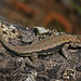 Eastern Fence Lizard - Photo (c) Jerry Oldenettel, some rights reserved (CC BY-NC-SA)
