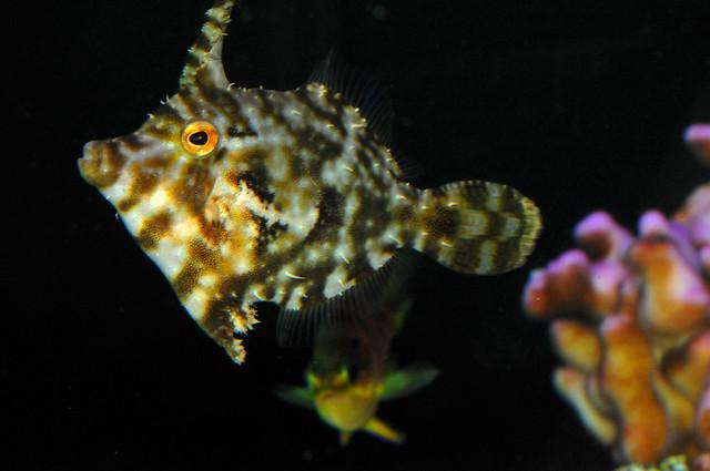 Aiptasia eating filefish acreichthys tomentosus reef for Aiptasia eating fish
