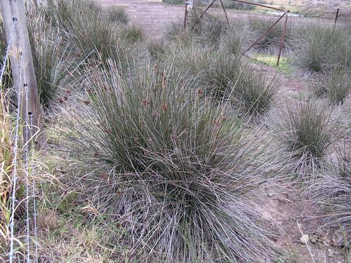 Juncus acutus plant NC4