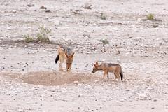 Young jackals