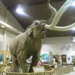 Mammuthus columbi (North American Columbian Mammoth)
