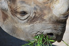 animal, horn, head, rhinoceros, fauna, close-up, wildlife,