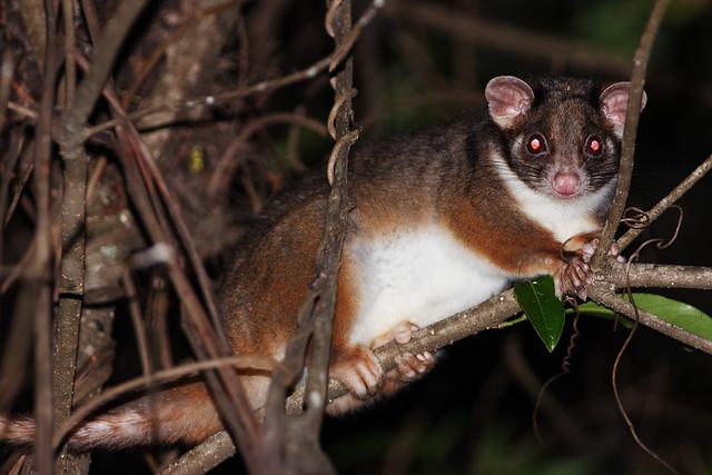 eastern pygmy possum - photo #16