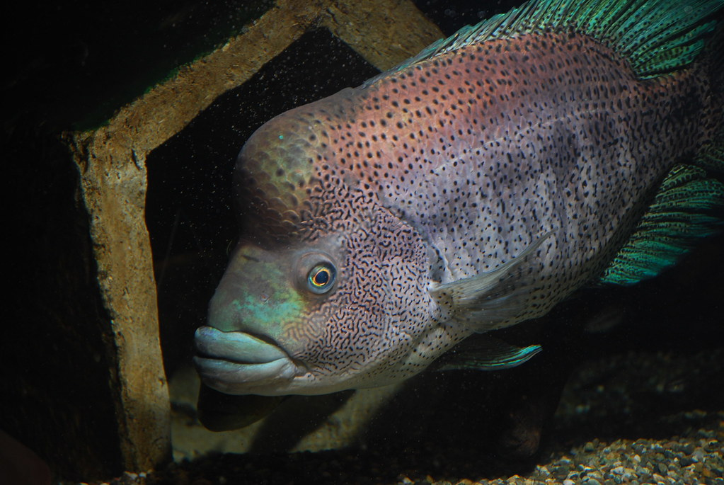 Wolf cichlid for sale lookup beforebuying for Aggressive fish for sale