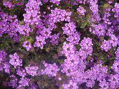 hesperis matronalis(0.0), annual plant(1.0), shrub(1.0), flower(1.0), plant(1.0), breckland thyme(1.0), lilac(1.0), verbena(1.0), herb(1.0), aubrieta(1.0),