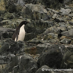 Little Adelie Penguin Looks a Bit Lost - Antarctica