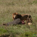 Male Lion with Buffalo Kill - Serengeti, Tanzania