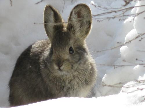 Pygmy Rabbit (Brachyla...