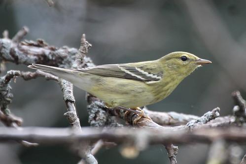Blackpoll Warbler (immature)