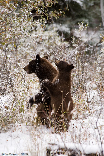 Black Bear Cubs in Grand Teton National Park