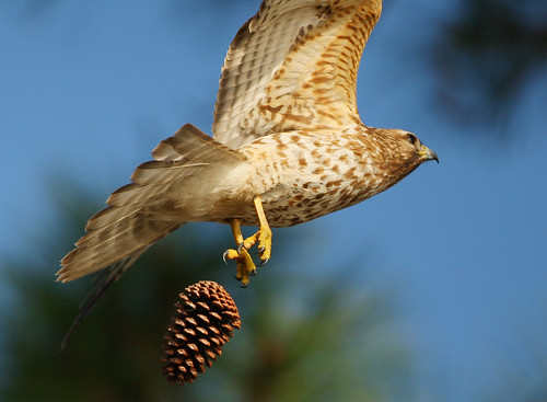 Red Shouldered Hawk Dropping The Pinecone