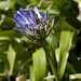 African Lily - Photo (c) Tig, all rights reserved