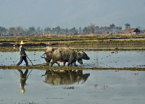 work countryside buffalo burma fields myanmar tati annatatti