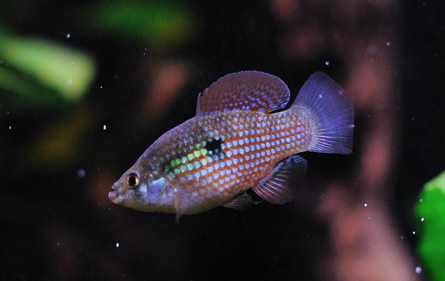 American Flag Fish Flickr - Photo Sharing!