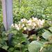 Small photo of Abelia chinensis