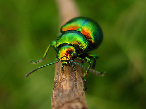 metallic green beetle