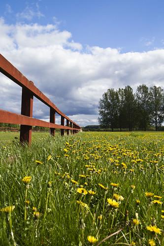 summer field pen fence sweden dandelion sverige enclosure taraxacumofficinale östergötland canonefs1785mmf456isusm canoneos7d