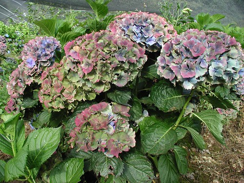 world famous oregon produced antique hydrangea