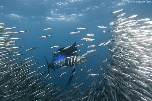 the sardine run #38