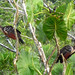 Small photo of Hoatzin. Ophisthocomus hoazin