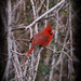 Small photo of Cardinal Male on Tallow Sprigs